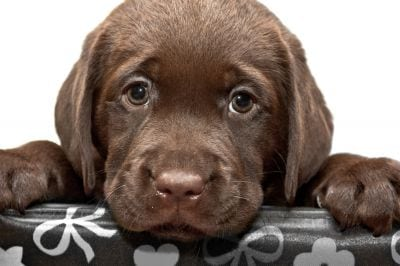 Sad looking chocolate lab puppy
